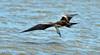 Frigatebird Magnificent 2015 04 Costa Rica Nikon (1)