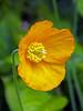Californian Poppy (Cornishcarolin. Stupid busy!! xx) Tags: cornwall trelissickgardensnt nationaltrust flowers poppies californianpoppy orangeflowers nature plants