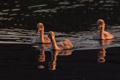 Cygnets (jasty78) Tags: swan swans cygnets sunrise loch golden goldenhour lochore lochoremeadows scotland nikon d7200 tamron150600mm