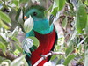 I know that you're hiding, but I can still see you! Resplendent quetzal (Pharomachrus mocinno), Paraiso del Quetzal, Costa Rica, Nov 2016 (Judith B. Gandy (on and off, off and on)) Tags: quetzal pharomachrus quetzals aves birds trogons costarica paraisodelquetzal pharomachrusmocinno resplendentquetzals
