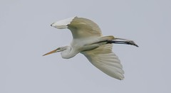 2U7A3445 (rpealit) Tags: scenery widllife nature ocean city rookery great egret bird