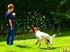 Bubblegum (Heaven`s Gate (John)) Tags: english springer spaniel dog pet garden bubbles bubblegum grass jump boy green sunshine fun joy play johndalkin heavensgatejohn 10faves
