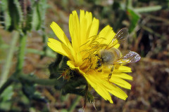 Honey bee on bristly ox-tongue (TJ Gehling) Tags: insect hymenoptera bee apidae apis honeybee plant flower weed asterales asteraceae oxtongue bristlyoxtongue picris pointmolate pointmolatebeachpark richmondca pollen
