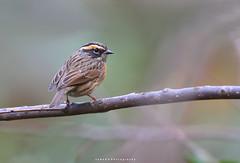 Rofous Breasted Accentor (jadi_jal) Tags: nature naturephotographer naturelover beautyofnature birds birdwatcher birdsphotographer rufousbreastedaccentor margallahills islamabad pakistan flicker