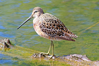 Long-billed Dowitcher 17-0507-4736