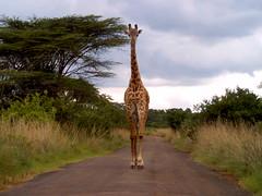 trotting giraffe - higher resolution (Adrienne Williams) Tags: nairobinationalpark kenya wildlife giraffe nairobi