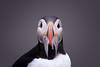 10 d'un coup (sviet73) Tags: islande animal macareumoine nature oiseau puffin greatphotographers greaterphotographers greatestphotographers ultimatephotographers