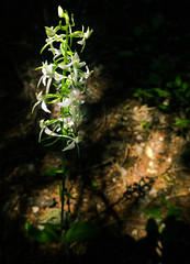 Orchid in light (i'freaks) Tags: flore orchidée alpes écrins blanche