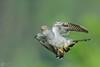 Kukułka, Common Cuckoo (Cuculus canorus) ... 2017r (Rafal Szozda) Tags: birds nature animals wildlife colors spring flight green lubuskie poland nikon nikkor lens meadow