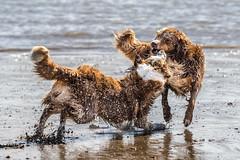schlammcatchen - mud catchen (FotoHolst) Tags: action wasser schlammcatchen sheperd australian canon sister schwestern strand haustier mudcatchen dog spas fun 7dmark2 fotoholst outdoor hund