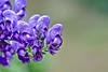 Eisenhut / Aconite I (Robert Zebahl) Tags: nikon tamron d3300 blüte flower blossom plant pflanze outdoor nature natur eisenhut aconite makro macro