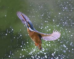 Kingfisher (peterspencer49) Tags: peterspencer peterspencer49 kingfisher bird uk