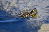 DSC_9332B (The Real Maverick) Tags: humberbaypark torontoparks toronto etobicoke ontario canada outdoor summer nikon nikond7200 duck duckling babyduck lakeontario