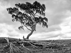 Clash of Scalan (James_at_Slack) Tags: banffshire scalan clashofscalan tree lonetree deadtrees abandoned bw scotland glenlivet