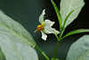 Solanum nigrum  イヌホオズキ (ashitaka-f studio k2) Tags: flower white japan solanum nigrum イヌホオズキ ナス科 solanaceae