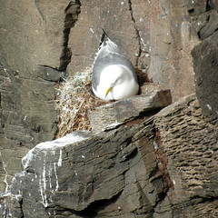 perfect nest (kexi) Tags: iceland europe latrabjarg square bird animal seagull nest quiet safe perfect rock samsung wb690 may 2016 instantfave