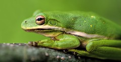 Tree Frog Texture (dianne_stankiewicz) Tags: frog treefrog nature hmm macromondays texture memberschoice green