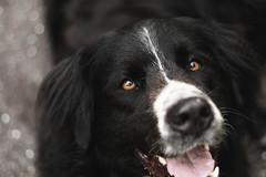 Daisy (MJC.Photography) Tags: dog dogs labernois balckdog dogphotography mydog lovedog