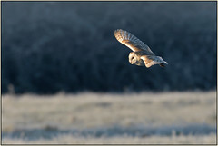 Barn Owl (image 1 of 3) (Full Moon Images) Tags: rspb fen drayton lakes wildlife nature reserve cambridgeshire bird flight flying prey birdofprey barn owl