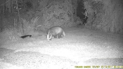 TrailCam364 (ohange2008) Tags: essexgarden trailcam badger july peanuts