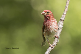 Roselin pourpré, Purple Finch