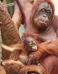 borneo orangutan Lea and Suria Krefeld BB2A1044 (j.a.kok) Tags: lea suria orangutan orangoetan borneoorangutan borneoorangoetan borneo azie asia mammal monkey mensaap aap ape animal zoogdier dier krefeld