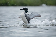 Splashy show (NicoleW0000) Tags: common loon great northern diver wildlife