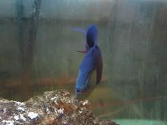 MVI_6080 (kenner116) Tags: 花蓮 hualien fish 魚