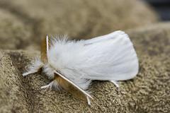 IMG_5947 (Roger Brown (General)) Tags: white tiger moth virginia spilosoma virginica garden foliage roger brown canon 7d sigma 18250mm