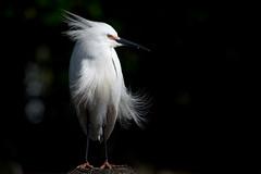 Bird on a Post (Melissa James Photography) Tags: egrettathula snowy egret snowyegret bird white birdonpost nikond500 nikon300f4