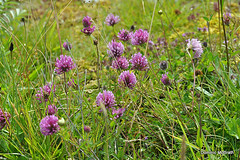 Red Clover. (mcgrath.dominic) Tags: redclover wildflowers theburren coclare