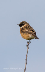 Stonechat-5516. (martinpettinger) Tags: of wings and feathers ~ admin invite only