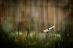 Friday on my Mind (ursulamller900) Tags: hff friday fence zaun pentacon28100 bokeh daisy gänseblümchen mygarden grass gras