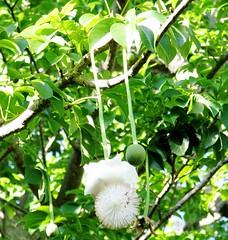 Adansonia digitata --  Baobab Tree flower and young fruit 0169 (Tangled Bank) Tags: fairchild tropical botanic garden miami florida botanical plant flora botany adansonia digitata baobab tree flower young fruit 0169