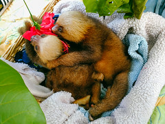 Infant sloths (Hannah_Kirkland) Tags: