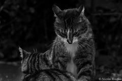 David & Goliath 2 (Nicolas Rouffiac) Tags: animal animals animaux cat cats chat chats félin feline fight fighting duel combat goliath david bw nb