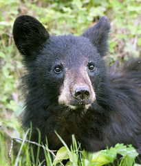 Black Bear Cub (Nick Saunders) Tags: blackbear bear young cub youngster juvenile forest borealforest woods saskatchewan animal cute baby canada wildlife nature