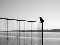 kiel_P7198275 (2) (ghoermann) Tags: deu düsternbrook geo:lat=5434451292 geo:lon=1015484333 geotagged germany kiel schleswigholstein bird crow