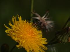 Dandelion mit Insekt (reuas ogni) Tags: dandelion pusteplume blume flower gelb yellow insekt insect maskro macro isoz olympus zuiko
