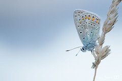 common blue / icarusblauwtje (Josette Veltman) Tags: icarusblauwtje vlinder icarus blue butterfly summer zomer insect wieden macro macrophotography canon 100mm28 explore