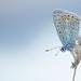 common blue / icarusblauwtje (Josette Veltman) Tags: icarusblauwtje vlinder icarus blue butterfly summer zomer insect wieden macro macrophotography canon 100mm28
