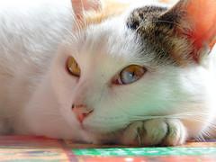 gata e linda (Gigica Machado) Tags: cat cats gato gatos chats chat blueeyes animal