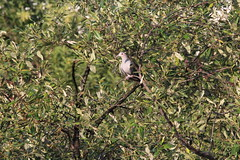Green imperial pigeon, Kota Kinabalu Wetlands Centre (natalia.bird_nerd) Tags: bird pigeon imperialpigeon greenimperialpigeon trees leaves malaysia