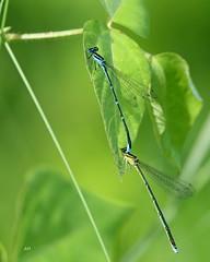 Agrion exilé (C) / Stream Bluet (C) (alain.maire) Tags: odonata odonate damselfly demoiselle coenagrionidae enallagmaexsulans agrionexilé streambluet nature quebec canada