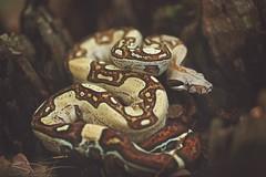 Jungle Boa (Brian-D) Tags: canon 100mm animal boa bcc snake nature 6d constrictor bci reptile pennsylvania