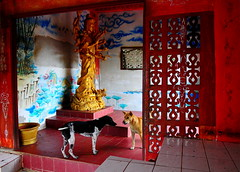 ,, Secret Meeting ,, (Jon in Thailand) Tags: blue red dogs yellow dog k9 k9s spirithouse themonkeytemple jungle kuanyin nikon nikkor d300 175528 happydogs 2dogs dogears dogtongue legsthezoomer mama queenofthejungle gold
