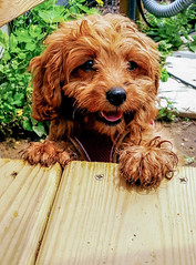 Come Play With Me! (tquist24) Tags: cavapoo goshen indiana outdoor samsung samsunggalaxys6 sicily cute deck dog furry pet puppy