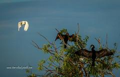 Anhinga Occupied (tclaud2002) Tags: egret anhinga bird wadingbirds fly tree treetop wildlife animal nature jupiter florida pinegladesnaturalarea outdoors