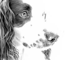 Rupert ! (TrevKerr) Tags: nikon d3s portrait dog dogportrait monochrome littledoglaughednoiret