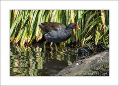 Moorhen  (Gallinula chloropus) (prendergasttony) Tags: moorhen bird avian outdoors nature wild wildlife scitty coots nikon d7200 lancashire uk rspb elements framing beak water reflection digital feathers counrtyside red yellow gallinula chloropus feet hen park freshwater wetland shadows cloudy ƒ56 3000 mm 1640 iso400 martinmere trust little marsh moor